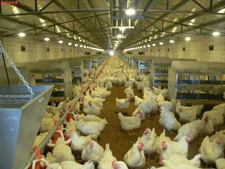 如何做好标准鸡舍通风工作?