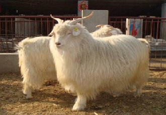 绒山羊要怎么抓绒?绒山羊的抓绒方法和抓绒后护理