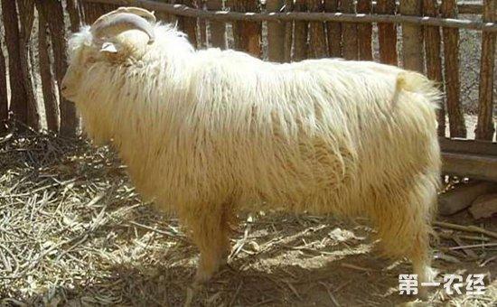 德绒山羊_绒山羊的抓绒方法和抓绒后护理
