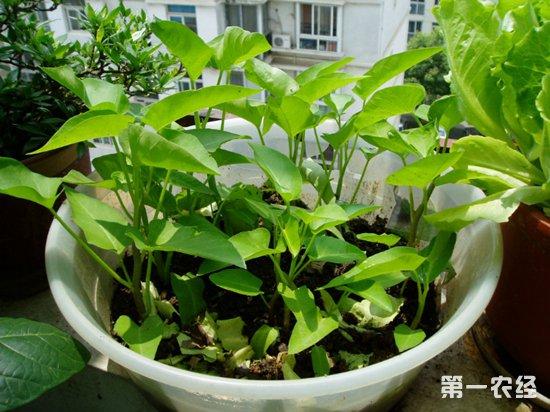 如何在家种出黄秋葵?盆栽种菜新选择