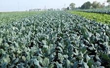 京冀等地召开蔬菜绿色生产技术对接会