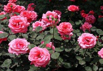 夏季盆栽玫瑰花要怎么养?夏季盆栽玫瑰花的养殖技术