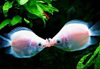 接吻鱼是怎么繁殖的?接吻鱼的繁殖方法