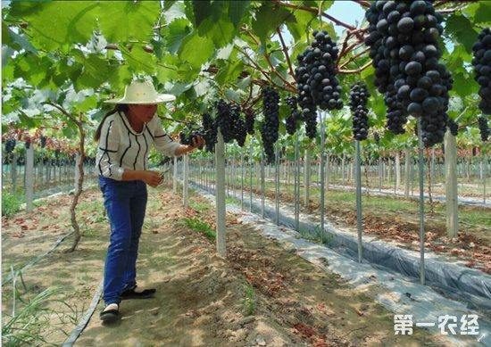 武汉新洲:果农20多亩葡萄滞销 期盼寻得销路不要致损