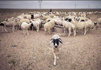 宁夏技术部门研究员攻破技术大关 培育出滩羊新品种