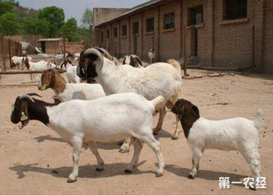 """羊为什么会跛行?羊出现""""瘸腿症""""的原因诊断"""