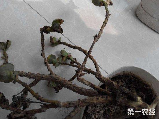 长寿花黄叶、焦枯、烂根、烂茎等原因及挽救措施