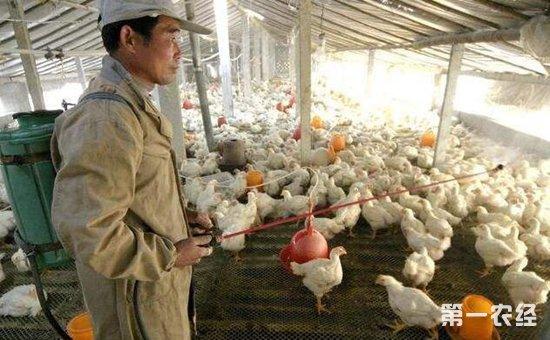 鸡气管堵塞都有些什么症状,应该如何治疗?