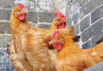 低成本的鸡舍怎么搭建?简易鸡舍的搭建方法