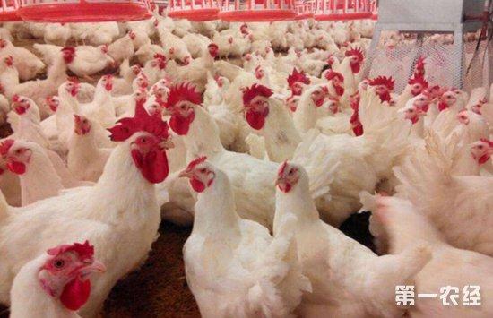 """白羽鸡迎来新春天,高质量""""潍坊肉鸡""""提高市场需求量"""