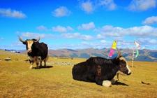 青海:转变发展模式 推动牦牛产业持续发展