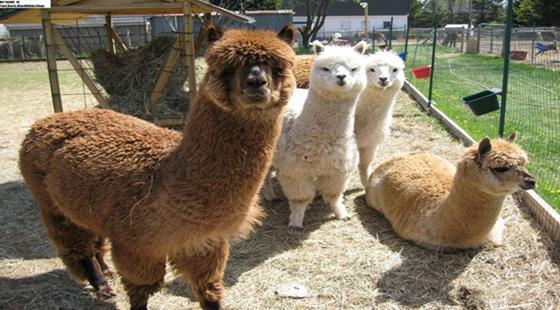 羊驼需要打哪些疫苗?羊驼需要打的疫苗介绍