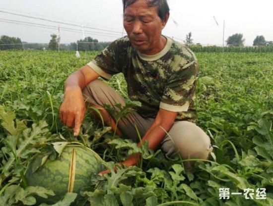 河南登封2万斤西瓜被砍烂 64岁瓜农半年血汗付之东流