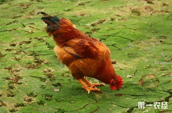 鸡咳嗽咳血呼吸困难?有可能是得了鸡传染性喉气管炎