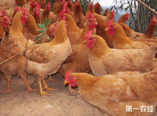 64%的黄羽肉鸡养殖户:没有亏损但也难以盈利