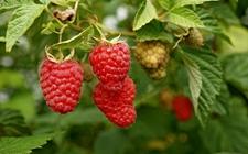 乌克兰冷冻树莓出口量刷新记录 一季度同比增长45%