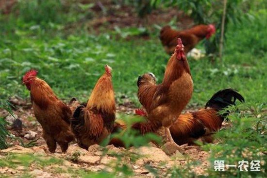 关于鸡伤寒,这几点你一定要了解