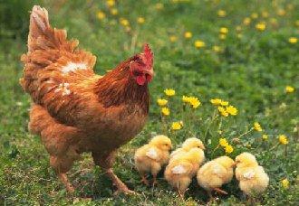 如何安装鸡用乳头饮水器?乳头饮水器的安装规范