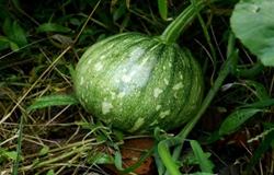四川泸州:农村老农每年只栽种拳头大小的迷你南瓜 1亩收入1万元
