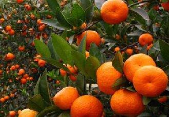 柑橘常见的虫害有哪些?柑橘常见的虫害与防治方法