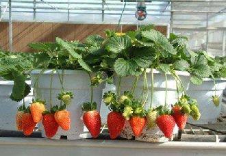 草莓染上炭疽病要怎么办?草莓炭疽病的防治方法