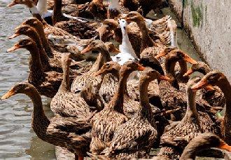 大棚蛋鸭要怎么养?大棚蛋鸭的养殖技术