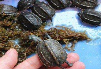 乌龟得了肠炎要怎么办?乌龟肠炎的防治方法