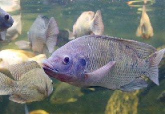 罗非鱼常见的疾病有哪些?罗非鱼常见的疾病与防治方法