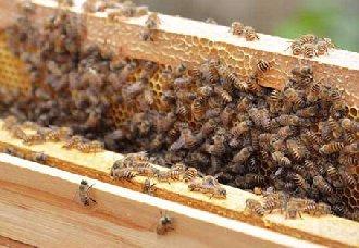 让蜜蜂快速繁殖的方法有哪些?蜜蜂快速繁殖的养殖技术