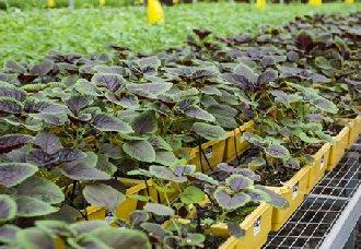 大棚苋菜要怎么栽培?大棚苋菜的栽培技术