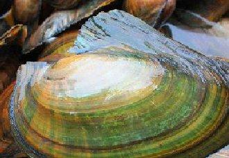 河蚌要怎么养?河蚌的养殖技术介绍