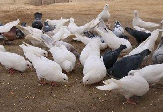 肉鸽消瘦病有什么症状?肉鸽消瘦病的预防治疗措施