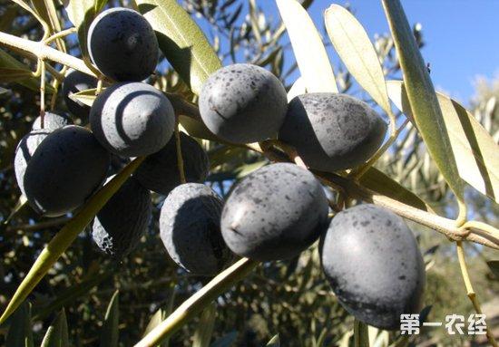 美国拟提高西黑橄榄出口关税 西班牙抗议立场获欧盟支持