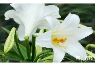 怎样种植百合花?百合花种植方法介绍