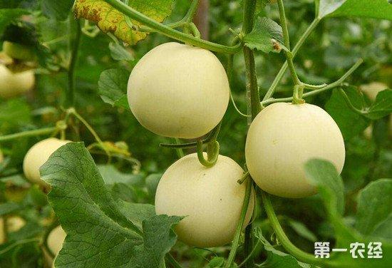 夏季甜瓜常见病害及其防治方法