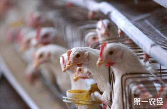 未来超3成蛋鸡养殖户或将被清理,该如何应对?