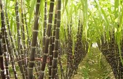 福建:76岁老农种植大片甘蔗 再用祖传手艺制出红糖走出致富路