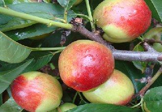 油桃要怎么种?油桃的种植技术