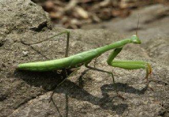 <b>螳螂要怎么养?螳螂的养殖技术</b>