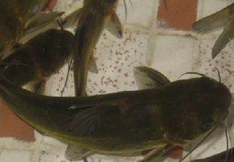 鲶鱼常见的疾病有哪些?鲶鱼常见的疾病防治方法