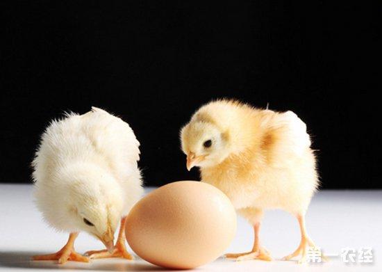 孵化过程中如何预防鸡胚啄壳前死亡