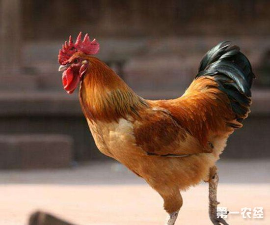 关于如何提高种鸡场鸡苗质量的三个措施