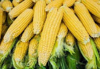 玉米二次化控处理再推进 主防病虫防倒伏使得玉米再增产