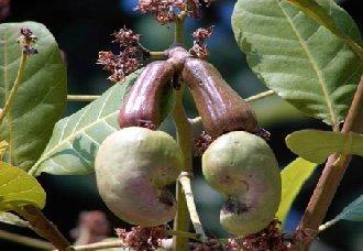 腰果在种植中要怎么管理?腰果的管理技术