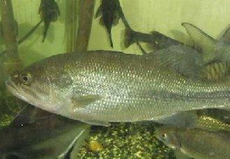 鲈鱼常见的疾病有哪些?鲈鱼常见疾病的病症与防治方法