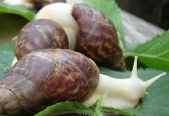 夏季要怎么养好白玉蜗牛?夏季白玉蜗牛的养殖方法