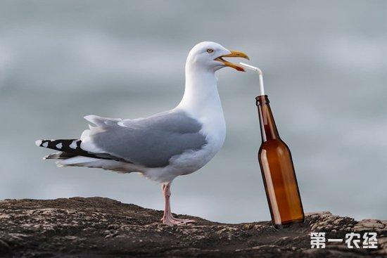 """英国数十只海鸥海滩上上演""""醉飞"""" 从空中直接掉下来呕吐后恢复正常"""