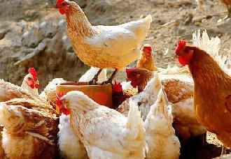 四款常见的鸡饮水器优缺点分析