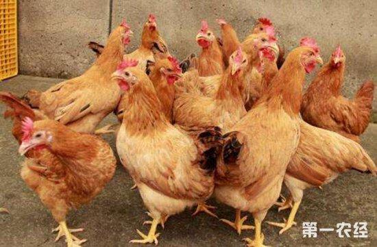 给蛋鸡人工强制换羽需要注意的四个方面