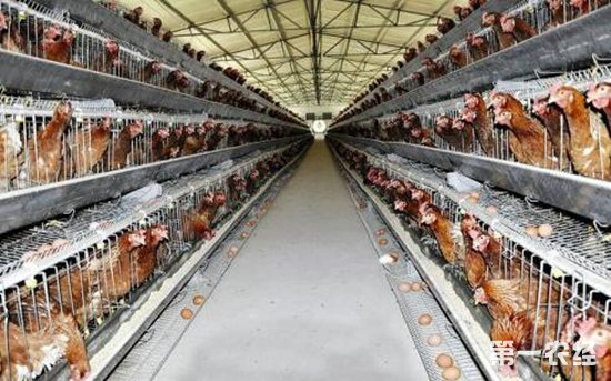 应对持续高温蛋鸡舍的管理措施